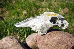 Horse skull on garden stone Royalty Free Stock Photography