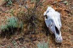 Horse skull in grass close up. Closeup image of white bone of horse`s skull lying on ground. Famine concept royalty free stock image