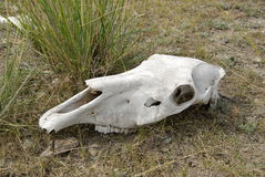 Horse skull, Mongolia Stock Photo