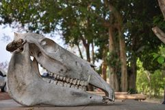 Horse skull on a wooden table stock photo