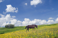 Horse, sky and meadow Royalty Free Stock Photos