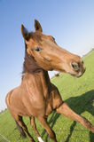 Horse slanting. Brown horse on the meadow slanting photographed Stock Photography