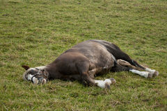 Horse sleep outside on pasture
