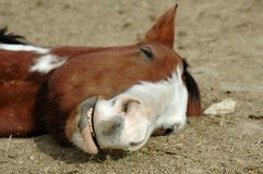Horse Sleeping Stock Images