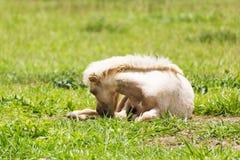 Horse Sleeping Stock Photos