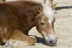 Horse sleeping Royalty Free Stock Image