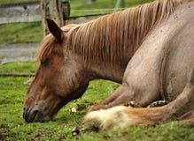 Horse sleeping Stock Image