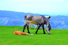 Horse and sleeping foal Stock Photography
