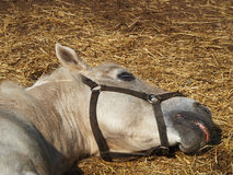 The horse is sleeping on the hay Royalty Free Stock Image