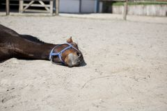 Horse is sleeping lying down Royalty Free Stock Photos