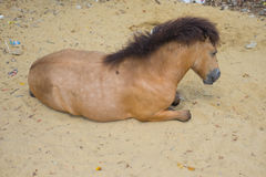Horse sleeping in sand Royalty Free Stock Photo