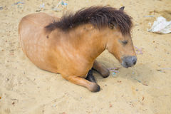 Horse sleeping in sand Stock Photos
