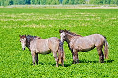 Horse small brown Royalty Free Stock Photos