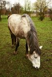 Horse. Small pony in a paddock in the grazing Royalty Free Stock Photography