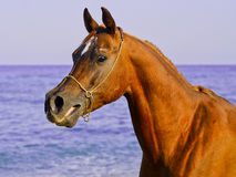 Horse with a small white spot on his head stand against the sky and the sea Royalty Free Stock Photos