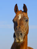 Horse with a small white spot on his head standing against the sky Royalty Free Stock Photography