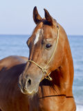 horse with a small white spot on his head standing against the sky and sea Royalty Free Stock Photo