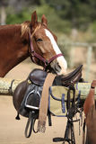 Horse smelling riding gear. A brown and white horse smelling its saddle Royalty Free Stock Photos