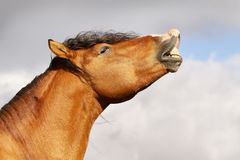 Horse smile Stock Image