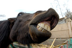 Horse smile royalty free stock images