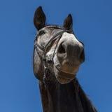 Horse smile Stock Photos