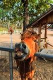 Smiling Horse Stock Photos