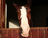 Horse smiling at the camera. stock photos