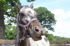 A horse smiling Stock Photos