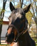 Horse smiling Stock Photo