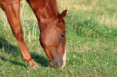 Horse Snack. A beautiful redish brown horse snacks on grass Royalty Free Stock Image