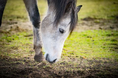 Horse sniffing the ground, close up. Outdoor Royalty Free Stock Images