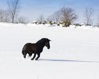 Horse in the Snow. A horse running and playing the snow Stock Image
