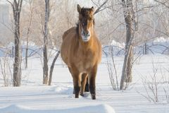 Horse on snow Stock Photo