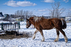 Horse in the snow Royalty Free Stock Photography