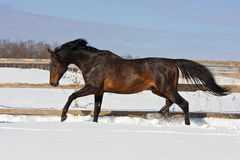 Horse on snow. Bay horse running on snow stock image