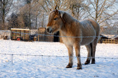 Horse in the snow Royalty Free Stock Photos