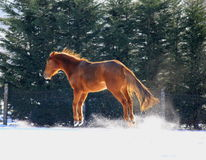 Horse  in the snow. Chestnut horse jumping and galloping  in the snow Stock Images