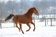 Horse  in the snow. Chestnut horse galloping in the snow Stock Photos