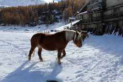 Horse and snow. A horse walking in the snow in Cheneil (Valtournenche - ITALY Royalty Free Stock Photos
