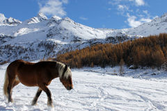Horse in the snow. Brown horse walking in the snow in Cheneil (Valtournenche - ITALY Stock Photography