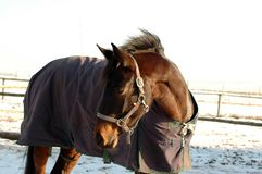 The horse in the snow. Royalty Free Stock Photography