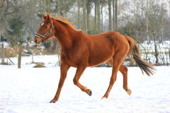 Horse in snow. Chestnut horse running in the snow Royalty Free Stock Images