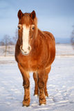 Horse in snow Stock Photos
