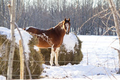 Horse in snow covered pasture. A brown horse with white spots in a snow covered pasture Royalty Free Stock Photography