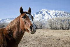 Horse and a Snow Mountain. Close-up a Horse on the Field with Snow Mountain on the Background Stock Images