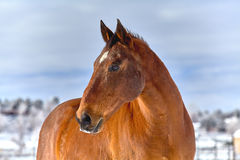 Horse with Snow on Nose Royalty Free Stock Photos