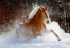 Horse in snow. Palomino horse running in snow Royalty Free Stock Photo