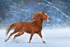 Horse in snow royalty free stock photos