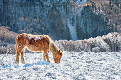 Horse in snow. Snowy mountain Royalty Free Stock Photo