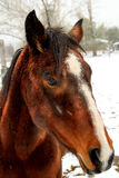 Horse In Snow Storm Royalty Free Stock Photo